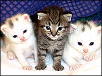 Hypoallergenic kittens (photo by Allerca)